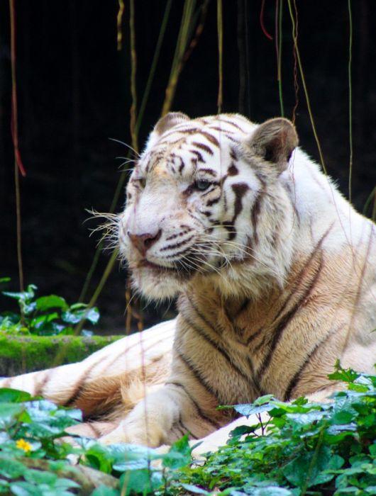 Singapore Zoo: Auf den Spuren der weißen Tiger