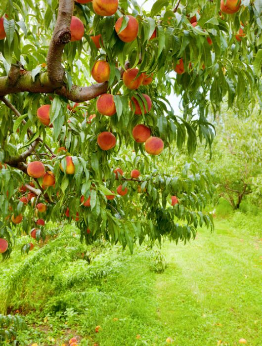 Work & Travel in Australien – Teil 1: Picking Peaches All Day Long!