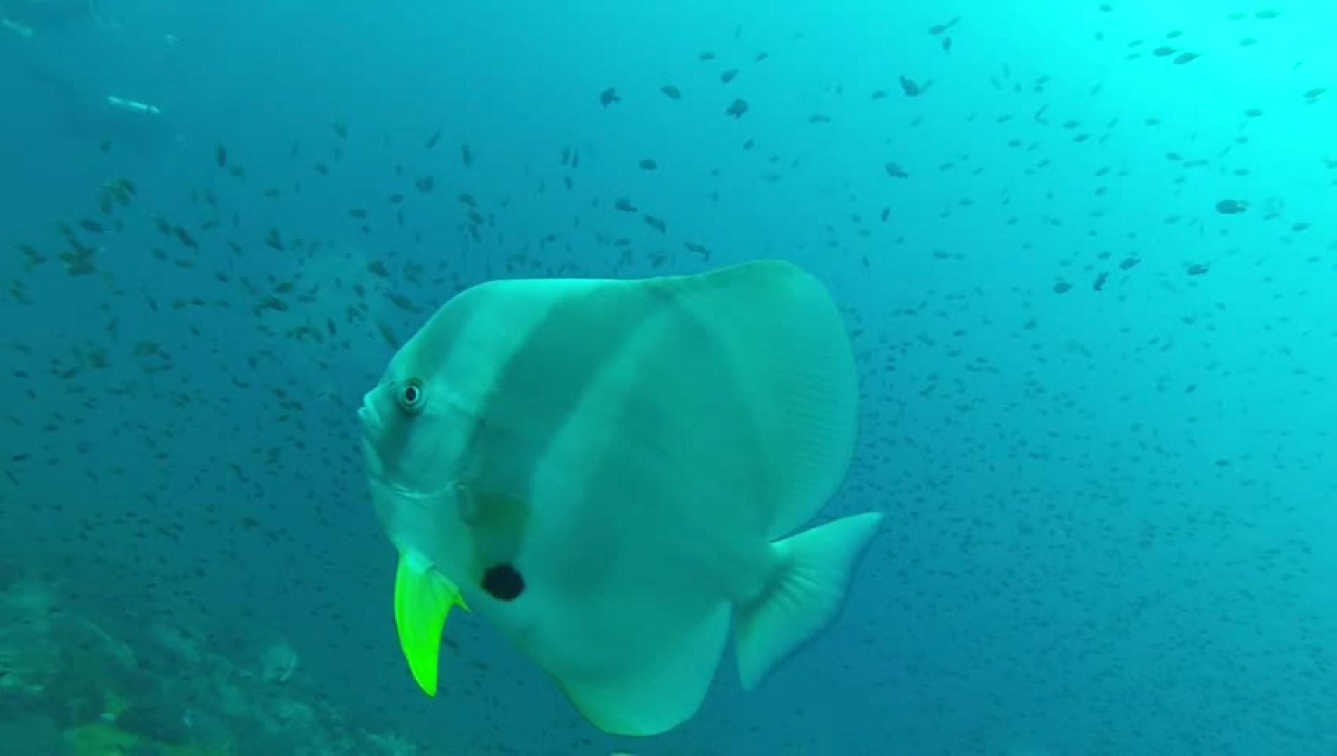 Ein Falterfisch