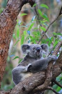 Ein Koala im Koala Hospital