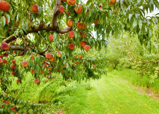 Australien – Teil 1: Picking Peaches All Day Long!