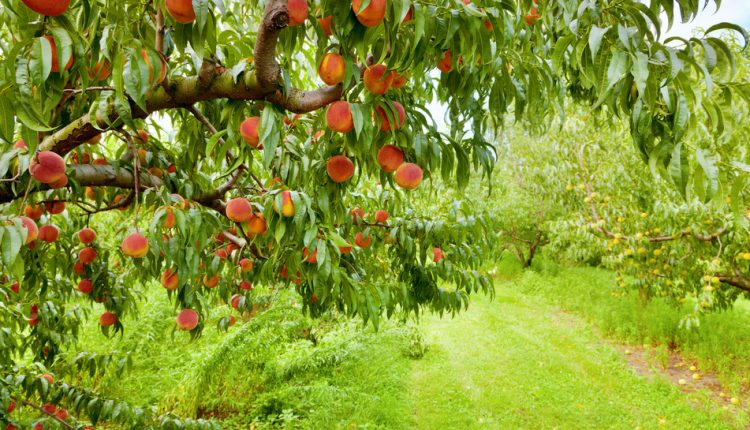 Australien – Teil 1: Picking Peaches All Day Long!