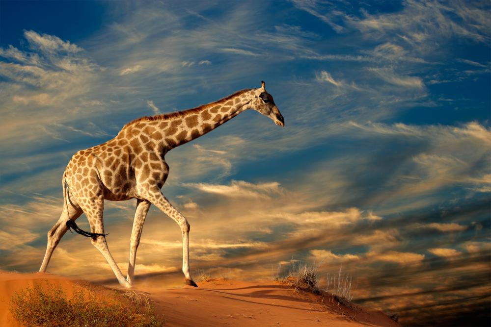 Afrika Südafrika Giraffe